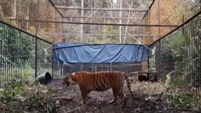 Dilepasliarkan di Kawasan Restorasi Ekosistem Riau, Harimau Sumatera Corina Dipasangi GPS Collar