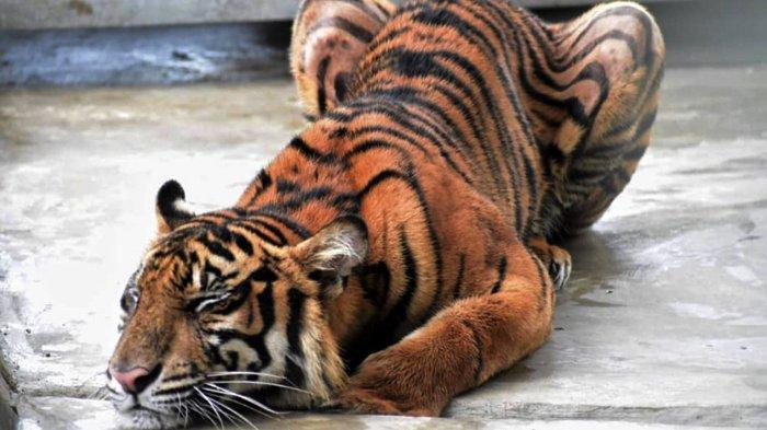 Kandang Harimau Corina Dilengkapi Empat Lampu Penghangat, Kondisinya Semakin Membaik