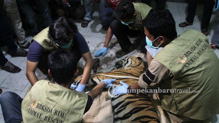 Diduga Diincar Pemburu, Ada Bangkai Babi di Dekat Harimau yang Mati Terjerat di Area Konsesi PT AA - harimau-sumatera-kena-jerat2.jpg