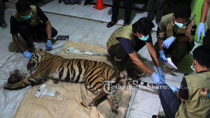 Diduga Diincar Pemburu, Ada Bangkai Babi di Dekat Harimau yang Mati Terjerat di Area Konsesi PT AA - harimau-sumatera-kena-kena-jerat1.jpg