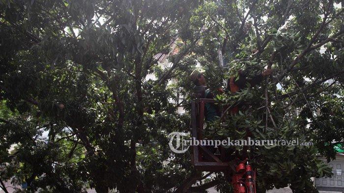 FOTO : Antisipasi Patah, Petugas Dari Dinas PUPR Potong Dahan Kayu di Jalan Sudirman Pekanbaru - inas-pekerjaan-umum-dan-penataan-ruang2.jpg