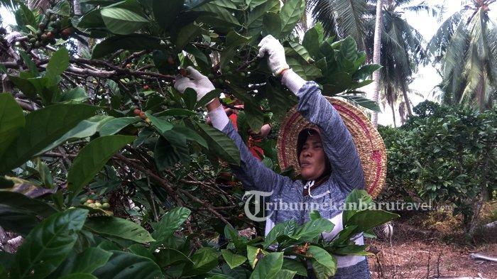 Petani sedang memanen biji Kopi Liberika di Kabupaten Kepulauan Meranti .