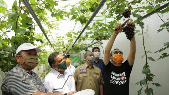 Puluhan Varian Anggur Impor Berhasil Dibudidayakan di Riau, Hasilnya Sama Dengan yang di Luar Negeri