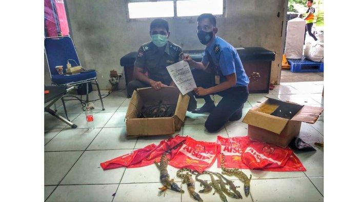 Pengiriman paket berisi puluhan anak buaya muara (Crocodilus porosus) berhasil digagalkan di Bandara SSK II Pekanbaru Rabu (24/3/2021) .