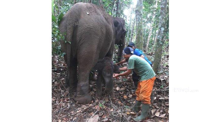 Kabar Gembira, Anak Gajah Kembali Lahir di Riau, Kali ini di Balai Taman Nasional Tesso Nillo