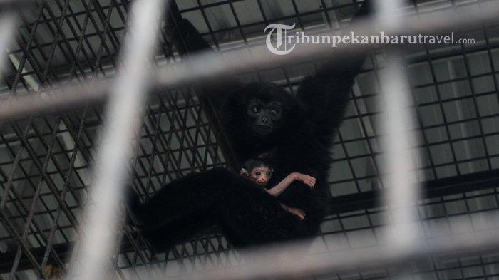 FOTO : Bayi Owa Ungko Lahir di Kandang Transit Satwa BBKSDA Riau