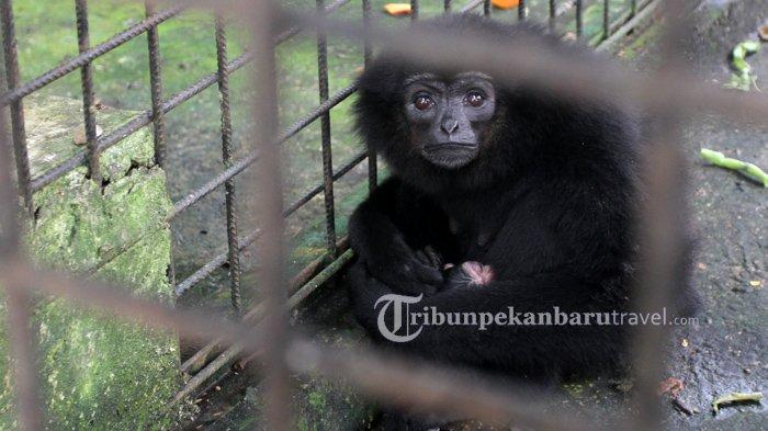 Seekor owa ungko (Hylobates agilis) yang diberi nama Sirin menggendong anak yang baru dilahirkannya di Kandang Transit Balai Besar Konservasi Sumber Daya Alam Riau