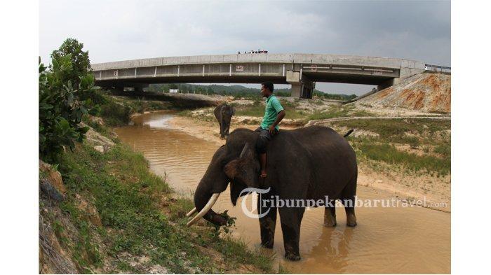 FOTO : Underpass Perlintasan Gajah di Jalan Tol Pekanbaru-Dumai - underpass-perlintasan-gajah-di-jalan-tol-pekanbaru-dumai3.jpg