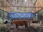 harimau-sumatera-corina-sebelum-dilepasliarkan.jpg