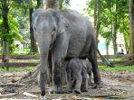 seekor-anak-gajah-telah-lahir-di-twa-buluh-cin.jpg