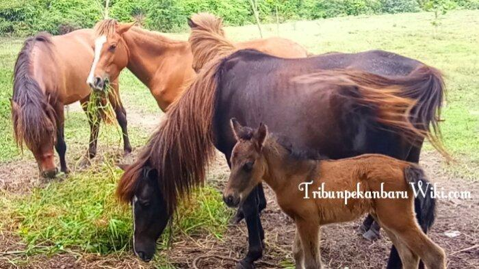 Nadia Si Kuda Betina di Kebun Binatang Kasang Kulim Melahirkan