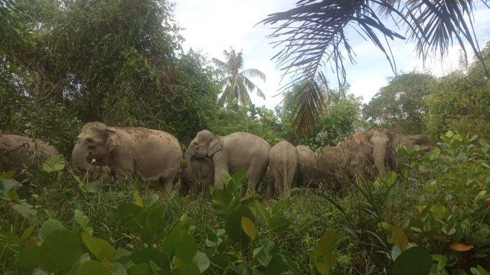 Kawanan Gajah Masuk Perkebunan Warga di Riau