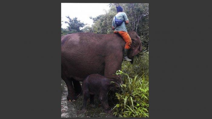 Gajah Sumatra Jinak di Taman Nasional Tesso Nilo Lahirkan Bayi Jantan