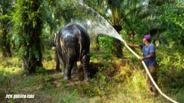 Balai Besar KSDA Riau Evakuasi Gajah Sumatra Usai 50 Tahun di Rokan Hilir