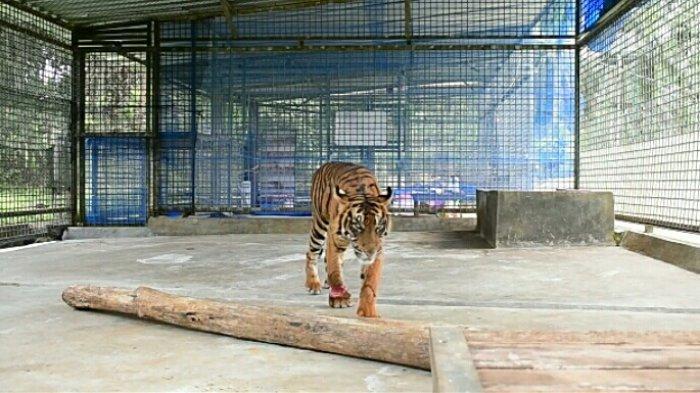 harimau-sumatra-corina.jpg