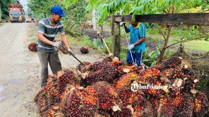 Daftar Harga Kelapa Sawit 17-23 Februari 2021 di Riau, Naik Lagi
