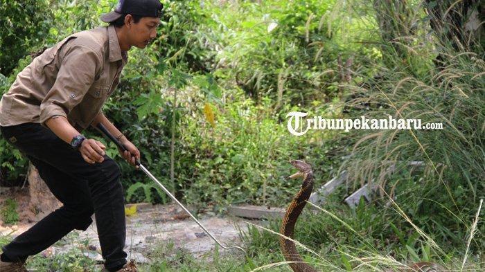 Muammar Syahida, Penakluk King Kobra Asal Riau