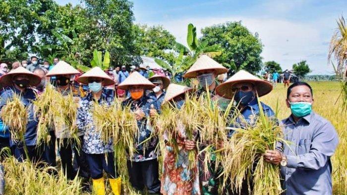 Panen Padi Bersama di Desa Petapahan Kampar Riau