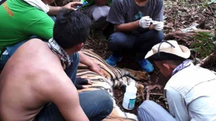 Penyelamatan Harimau Sumatra yang Terkena Jerat di Riau