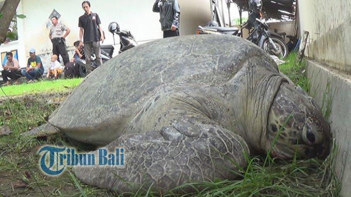 6 Penyu Langka yang Dilindungi di Indoensia