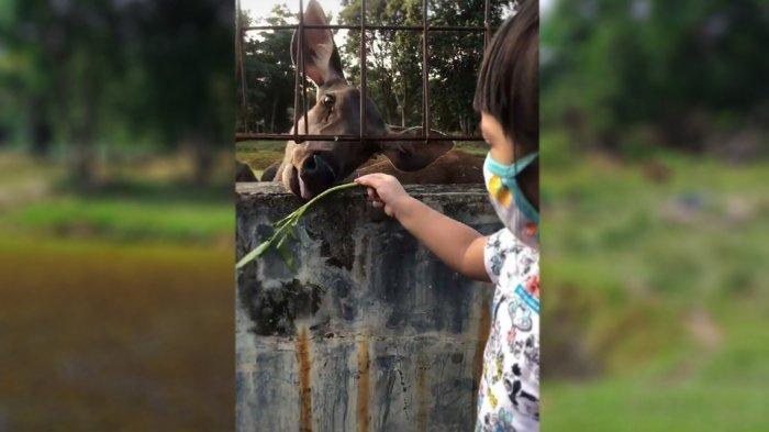 Seekor rusa berita menjulurkan lidahnya untuk meraih rumput yang disuguhkan seorang anak di taman rusa, sebelah kanan bawah jembatan TASL, Siak Sri Indrapura, Senin 15 Februari 2021