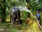 gajah-sumatra.jpg