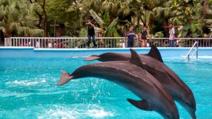 Pemerintah Larang Tempat Wisata Sajikan Atraksi Lumba-lumba, Ada Sanksi Jika Melanggar