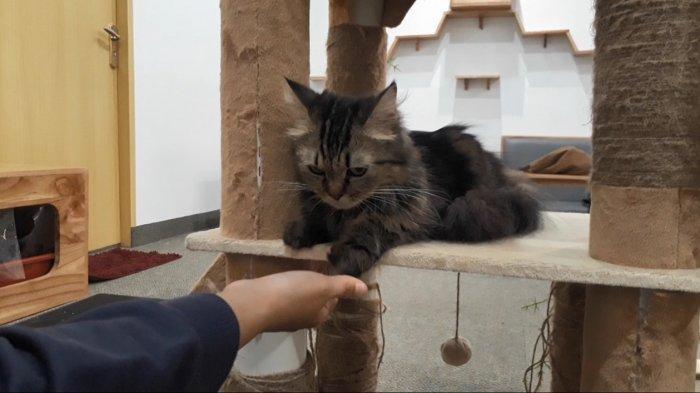 Pengunjung Paw Paw Cafe bermain dengan kucing