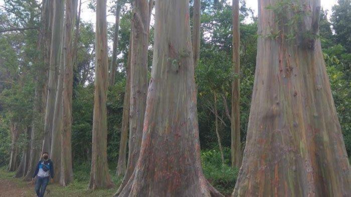 Pesona Hutan Pelangi, Jajaran Pohon Raksasa dengan Batang Warna-Warni di Bondowoso