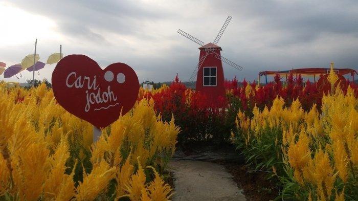 Tanaman Pengendali Hama Ini Jadi Objek Wisata di Taman Bunga Celosia Banjarnegara