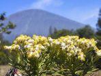 bunga-edelweiss-di-gunung-semeru-yes.jpg