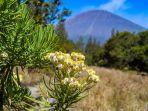 bunga-edeweiss-di-gunung-semeru-yes.jpg