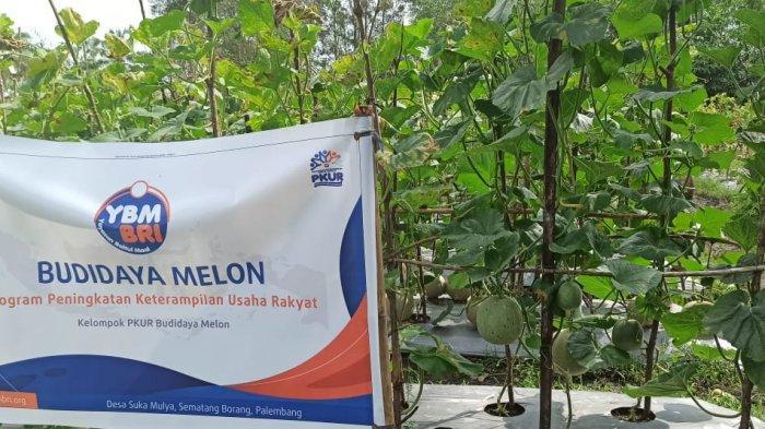 Panen Melon & Labu Kuning, Yuk Berkunjung ke Kampung Wisata Edukasi Pertanian Palembang Ini