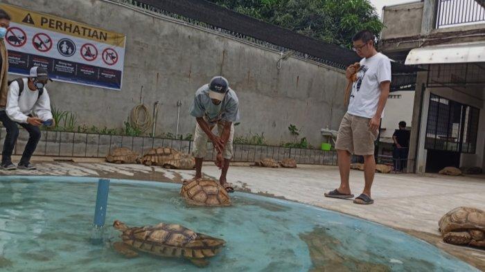 Kura-kura Sulcata yang ada di Nyandu Torto Turtle Farm yang ada di Jalan R Sukamto, Lorong Pancasari Palembang, Kamis (25/3/2021).