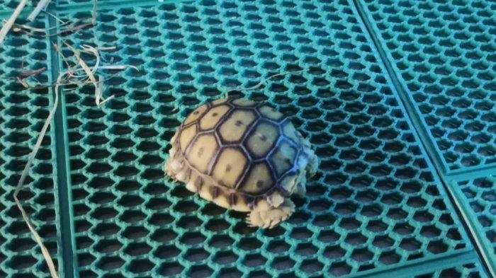 Anak kura-kura yang dijual seharga Rp 1,3 Juta ada di Nyandu Torto Turtle Farm yang ada di Jalan R Sukamto, Lorong Pancasari Palembang, Kamis (25/3/2021).