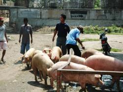 Foto Babi Di Potong Rumah Potong Babi Di Kapuk Akan Dibuat Modern Warta Kota