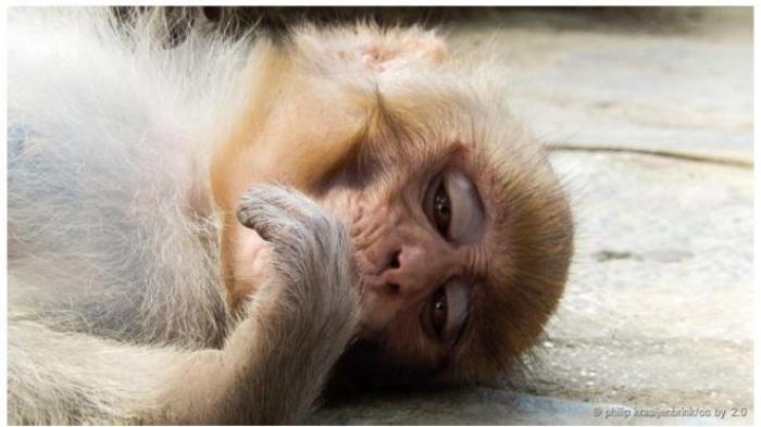 Hii Ngeri, Monyet Menyerang Warga, Petugas Terpaksa Beri Makanan