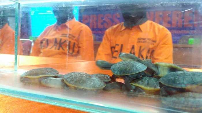 Penyelundup Anak Kura-kura Adalah Perusahaan Ekspor