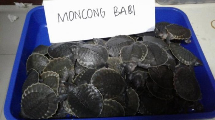 Kura-kura Moncong Babi dan Bawal Albino Diselundupkan Via Bandara Soetta