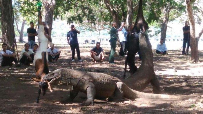 Turis Asal Singapura Diserang Komodo