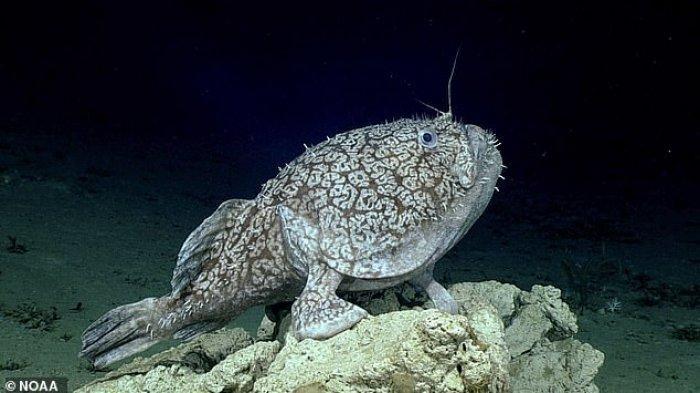 Penelitian Menemukan Ikan Langka yang Bisa Berjalan di Dasar Lautan dengan Sirip Menyerupai Kaki