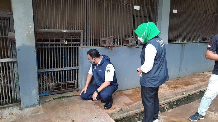 Anies Pantau Kesehatan Dua Harimau Sumatera yang  Terpapar Covid-19 di Taman Margasatwa Ragunan