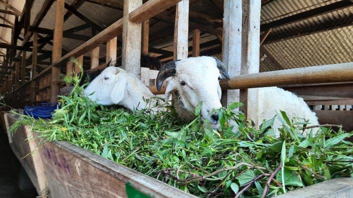 Baznas Pastikan Nutrisi dan Kesehatan Ternak Jelang Hari Raya Idul Adha