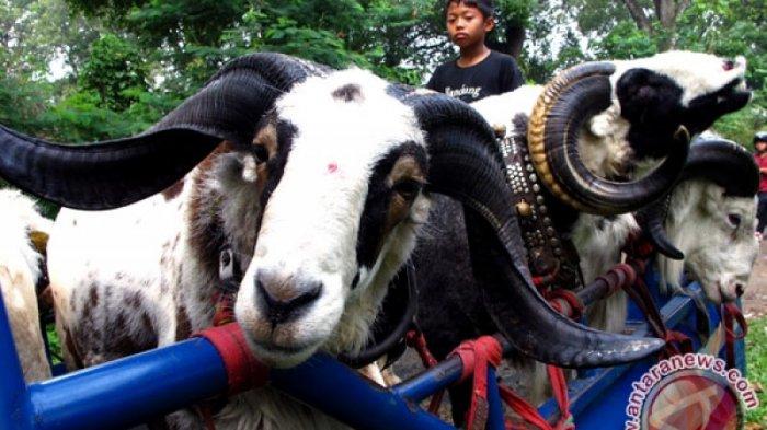 Wow! Indonesia Ekspor 300 Domba Garut Tiap Bulan ke Uni Emirat Arab