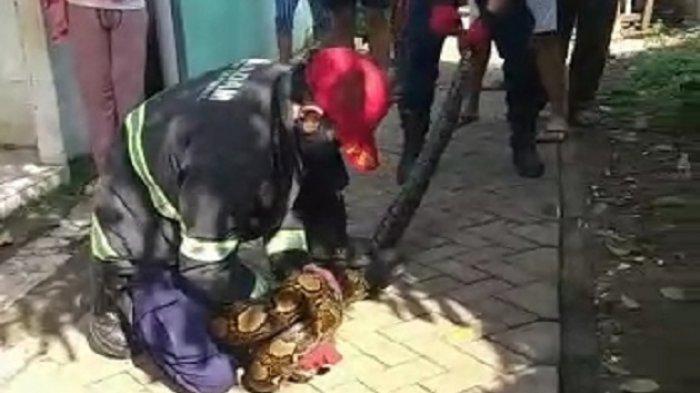 Evakuasi ular piton di Ciputat