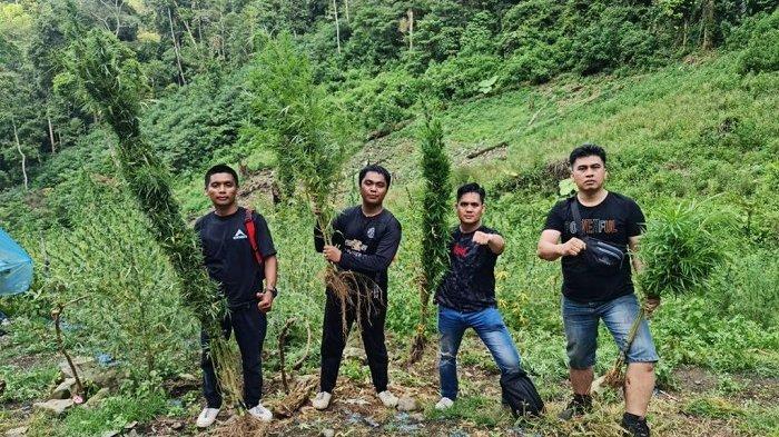 Belasan hektar tanaman ganja di Mandailing Natal, Sumatera Utara dimusnahkan polisi, Kamis (4/3/2021)