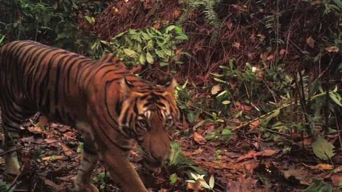Warga Madina Digigit Harimau Saat Memastikan Ada Siluman