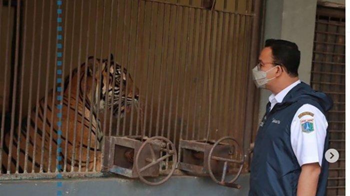 Anies Jenguk 2 Harimau Sumatera Positif Covid-19 di Ragunan yang Sempat Flu, Lemas, dan Sesak Napas