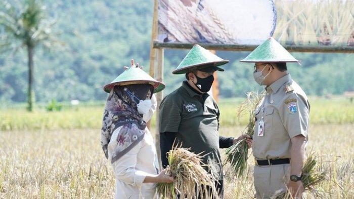 Anies Baswedan Ikut Panen Raya di Cilacap, Gandeng Petani Daerah Sediakan Stok Beras di Ibu Kota