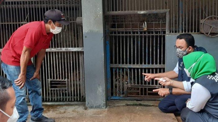 Gubernur DKI Jakarta, Anies Baswedan saat meninjau dua penghuni Taman Margasatwa Ragunan (TMR) Hari dan Tino yang terpapar Covid-19.